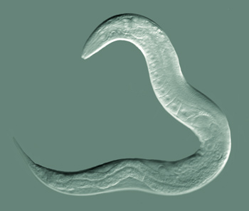 C Elegans<br>Most photographed organism of all time?